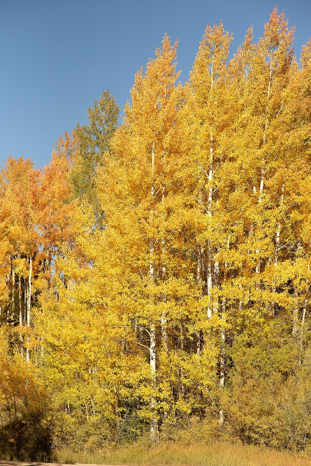 We just couldn't get over how stunning the Aspens were!