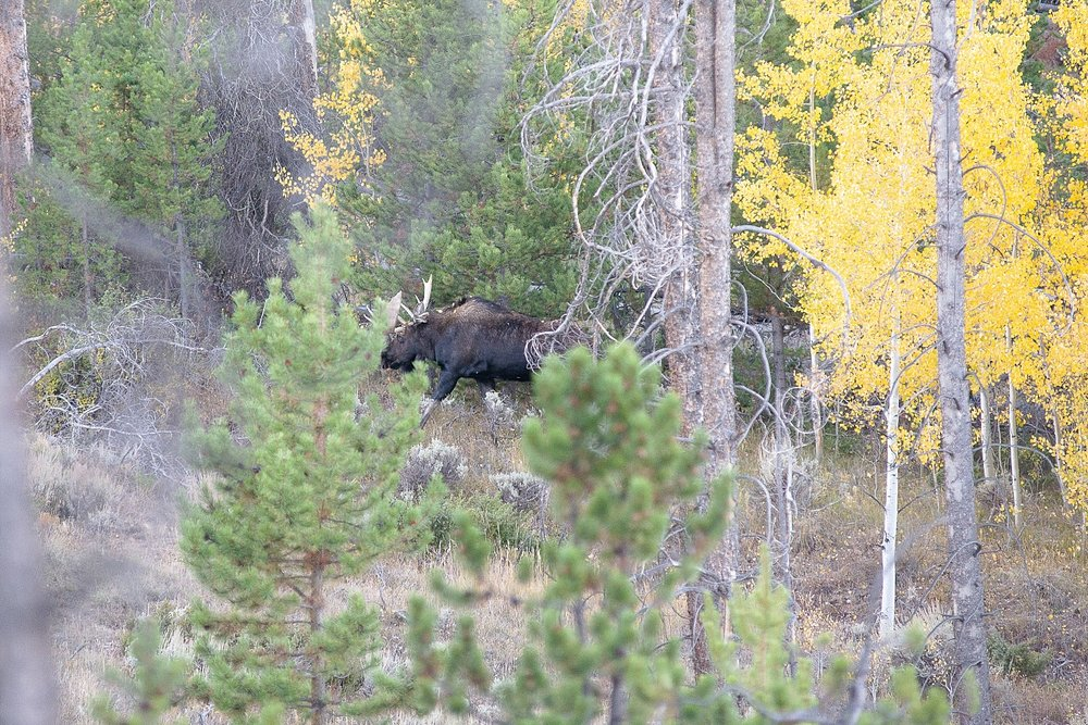 We saw a moose in Estes Park!