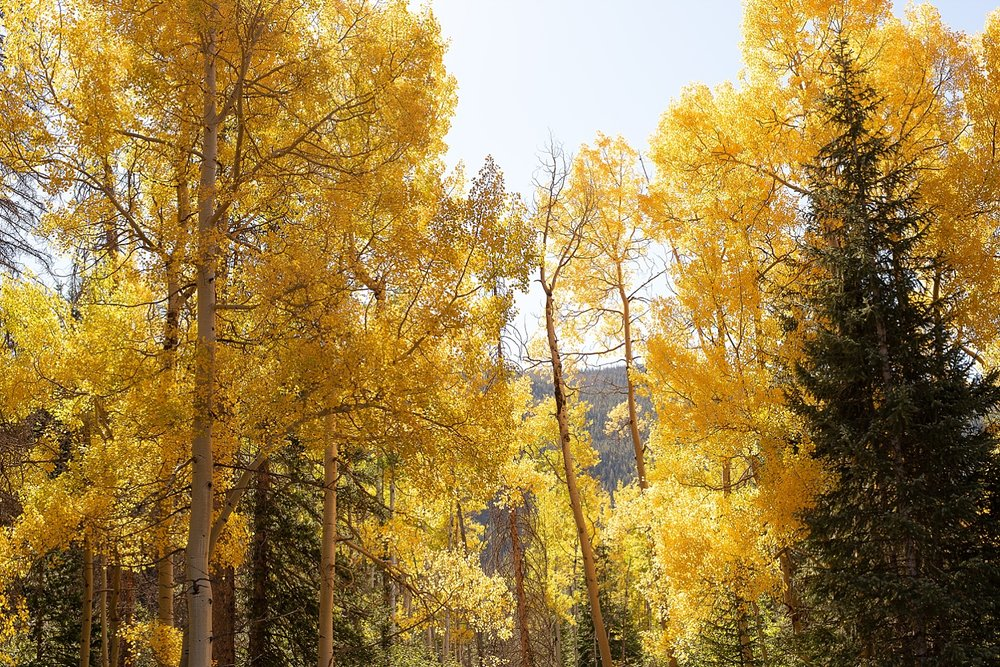 yellow-colorado-aspens