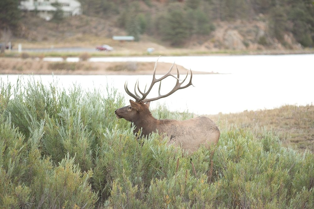 elk-in-colorado