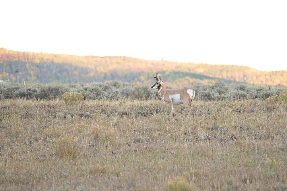 We thought it was amazing to see this pronghorn…little did we know, we would see thousands! By the end of the trip, it was as exciting as seeing cows back home in Kentucky.