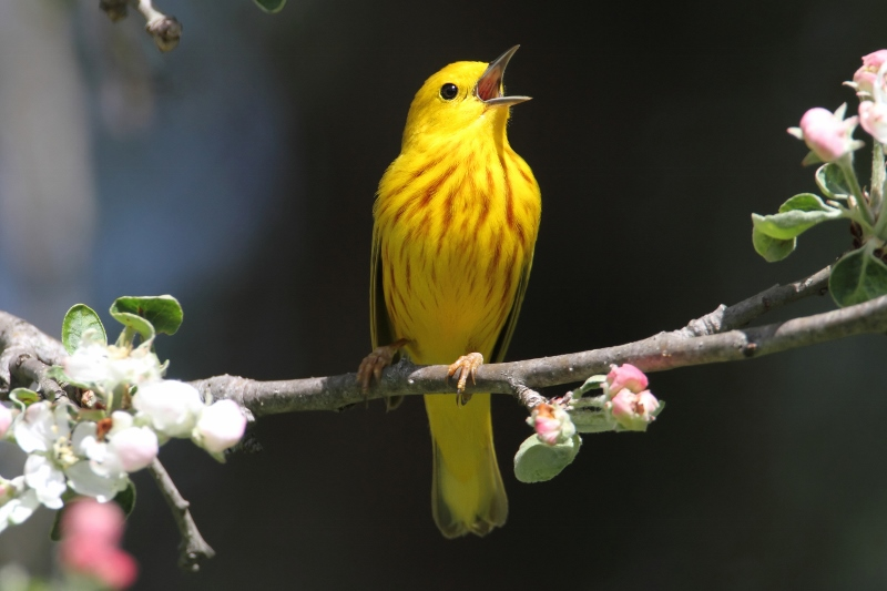 Yellow warbler (dendroica petechia) singing in spring.