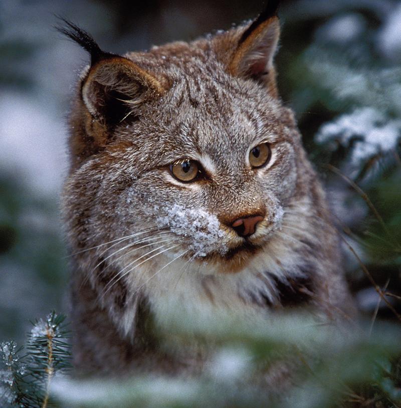 Lynx, © Susan C. Morse