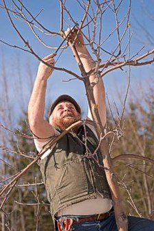 Michael Phillips prunes a fruit tree.