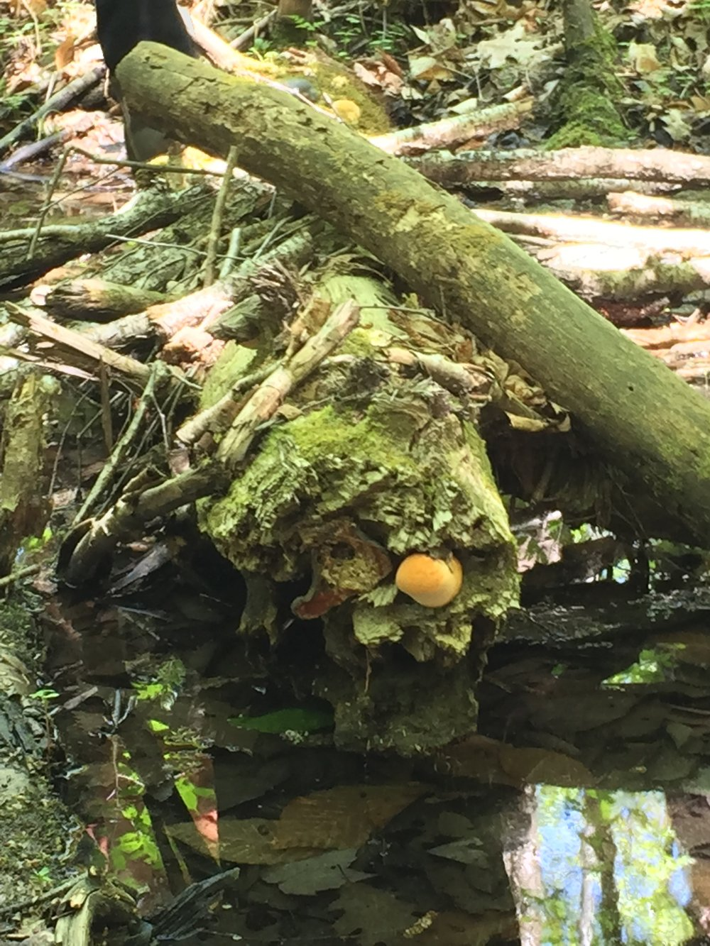 Reshi mushroom on dead Hemlock