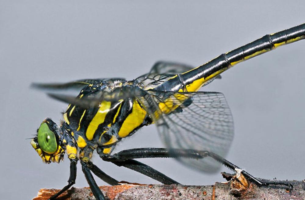 Vermont Odonata Atlas. Pfeiffer, Bryan, Michael Blust, and Kent McFarland. 2017. Vermont Center for Ecostudies – Vermont Atlas of Life.