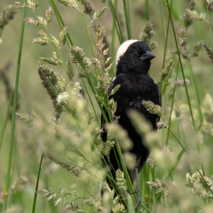 Outdoor Radio: Grassland Ambassadors Help Globetrotting Bobolinks Successfully Nest