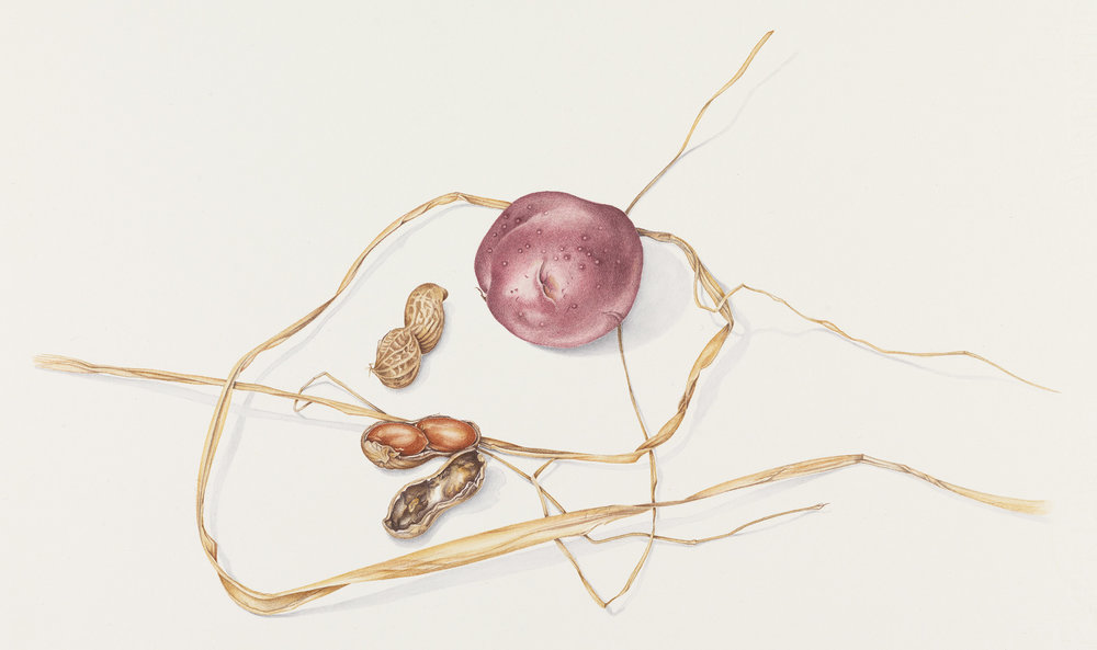 "Red Potato, Peanuts & Raffia, watercolor on paper, 8"" x 8 3/4"" (image size), $950 (framed)"