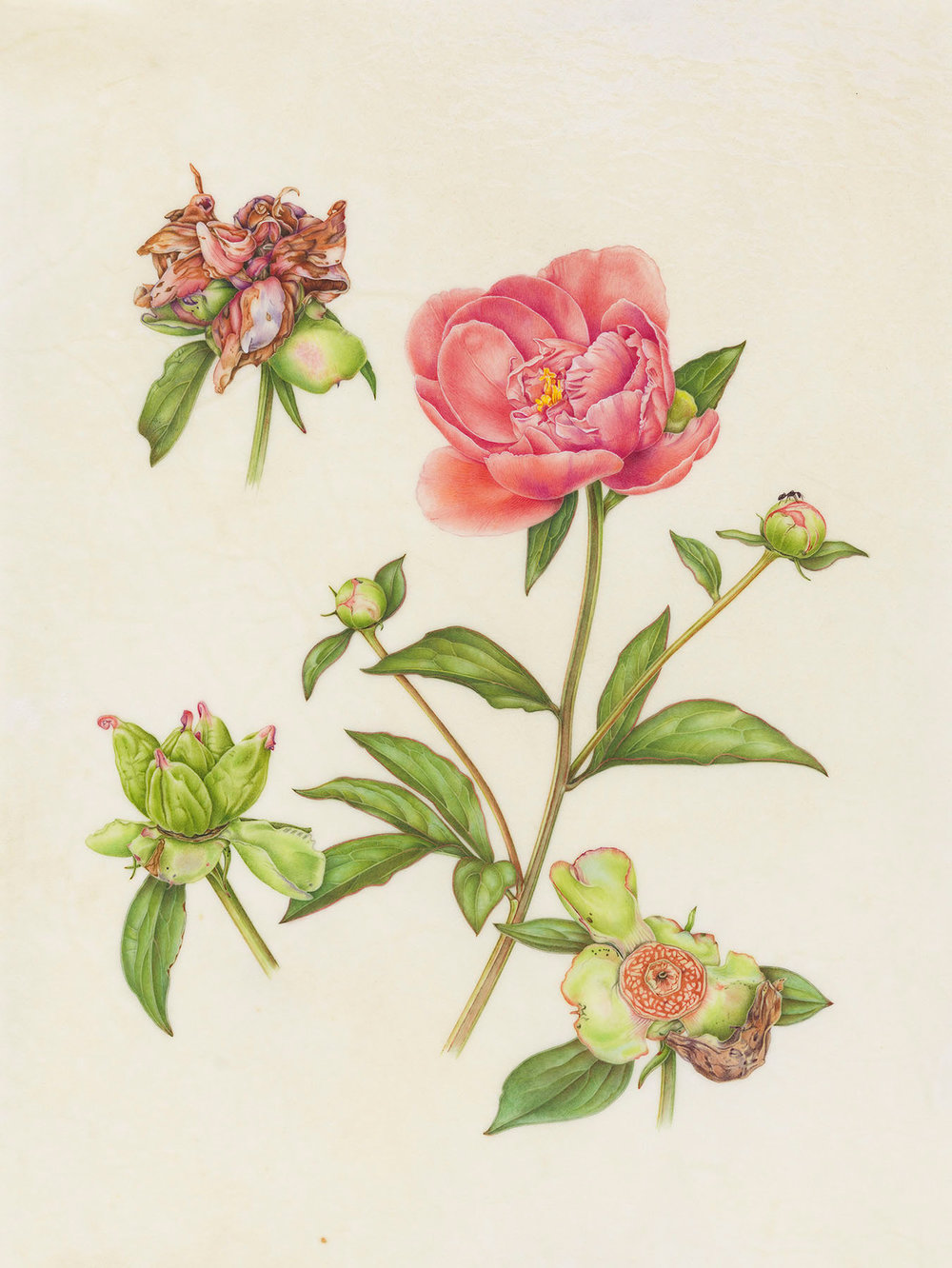 """""""Common Peony"""", watercolor on calfskin, 14"""" x 11"""", (image size), $1,500 (framed)"""