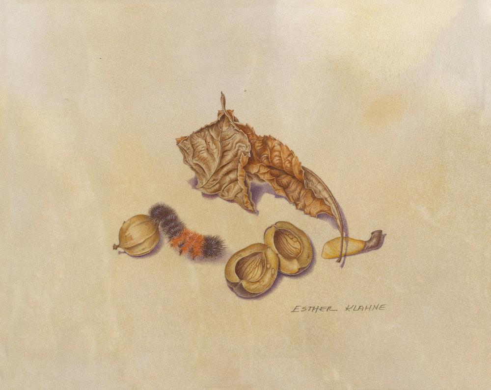 """Shagbark, Hickory Nut, Wooly Bear Caterpillar"", watercolor on calfskin, 5"" x 7"" (image size), $750 (unframed)"
