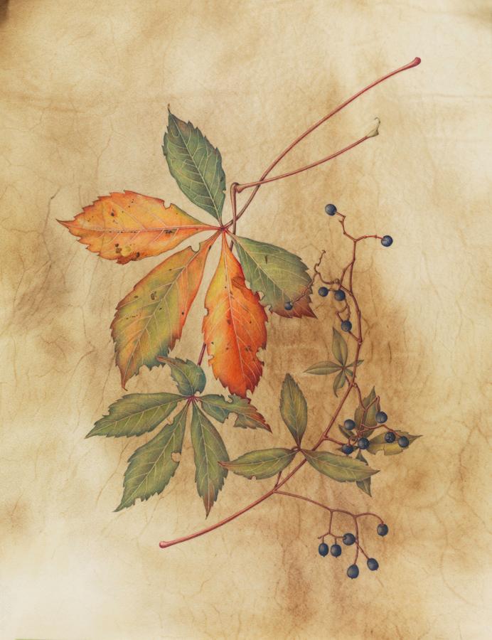 """Virginai Creeper"", watercolor on calfskin, 13 1/2"" x 9 1/2"" (image size), $1,200 (framed)"
