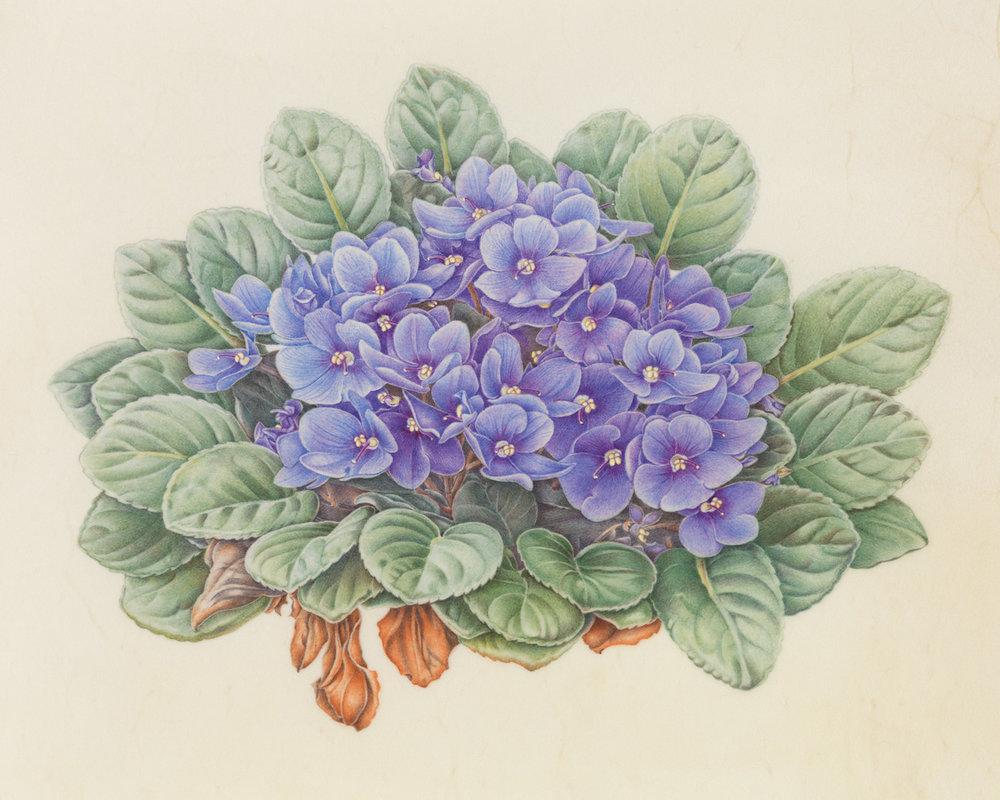 """African Violet"", watercolor on calfskin, 7 3/4"" x 10"", (image size), $1,200 (framed)"