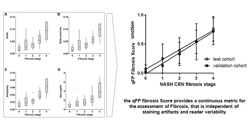 Quantitative Morphometric Analysis of Fibrosis features  (qFP: quantitative Fibrosis Parameters) enables the construction of a Fibrosis Composite Score that evolves continuously as fibrosis Progress,and can be used effectively as a Clinical Tool to assess Fibrosis  Ref: DUAL PHOTON MICROSCOPY BASED QUANTITATION OF FIBROSIS-RELATED PARAMETERS (Q-FP) TO MODEL DISEASE PROGRESSION IN STEATOHEPATITIS Yan Wang MD PhD, Hepatology doi: 10.1002/hep.29090