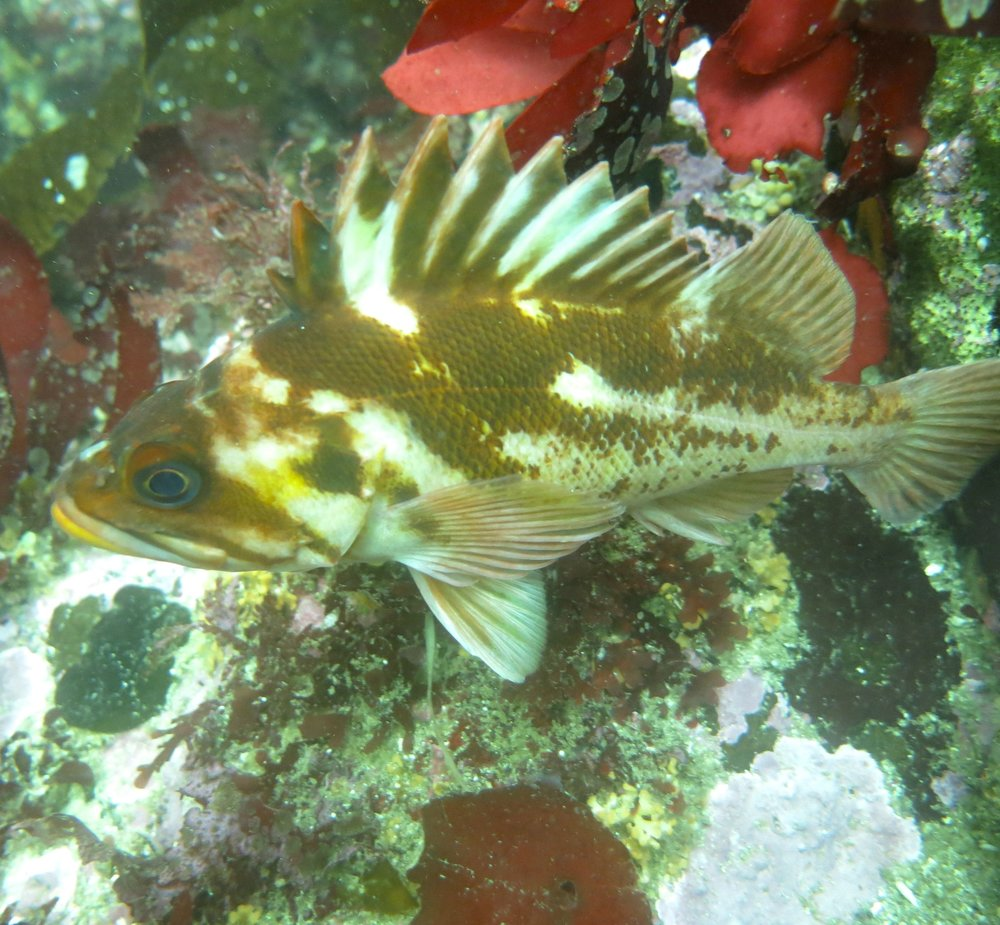 Copper rockfish.jpg