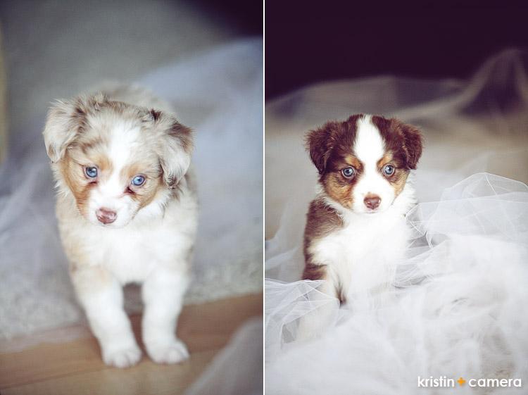Two Toy Australian Shepherd Puppies Left Kristin Bednarz