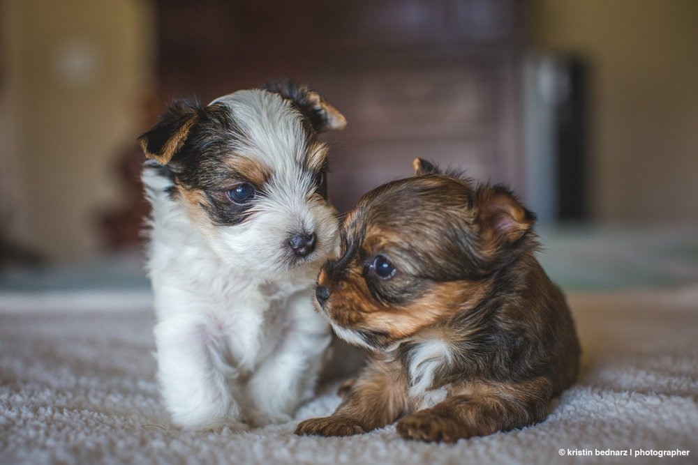 yorkie_puppies_lubbock_photographer_0931.JPG