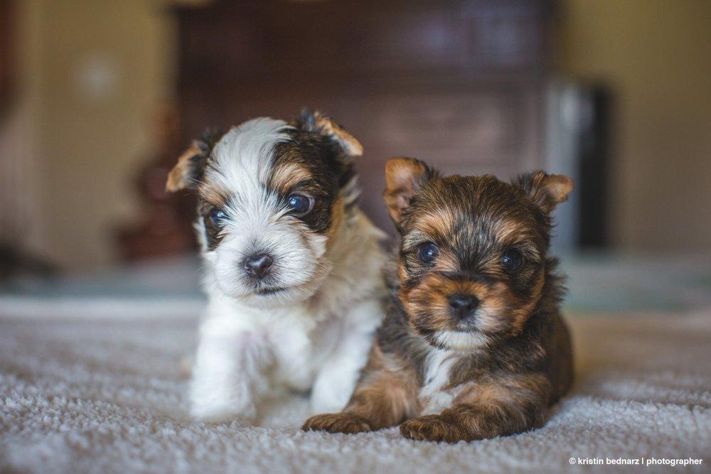 yorkie_puppies_lubbock_photographer_0932.JPG