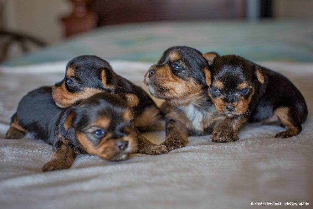 yorkie_puppies_lubbock_photographer_0934.JPG