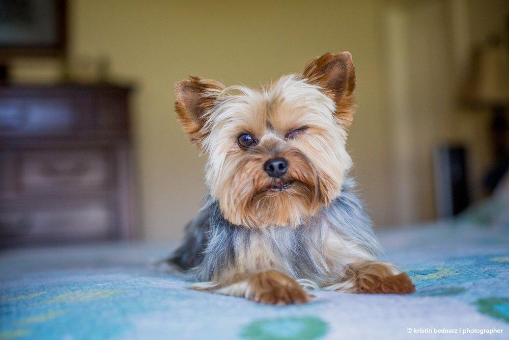 yorkie_puppies_lubbock_photographer_0941.JPG