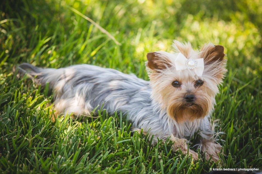 yorkie_puppies_lubbock_photographer_0943.JPG