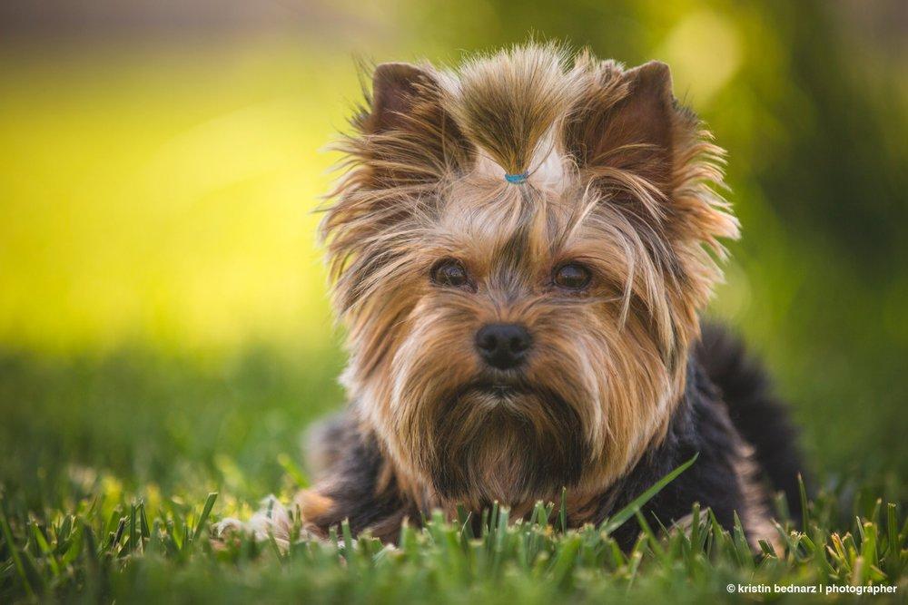 yorkie_puppies_lubbock_photographer_0947.JPG
