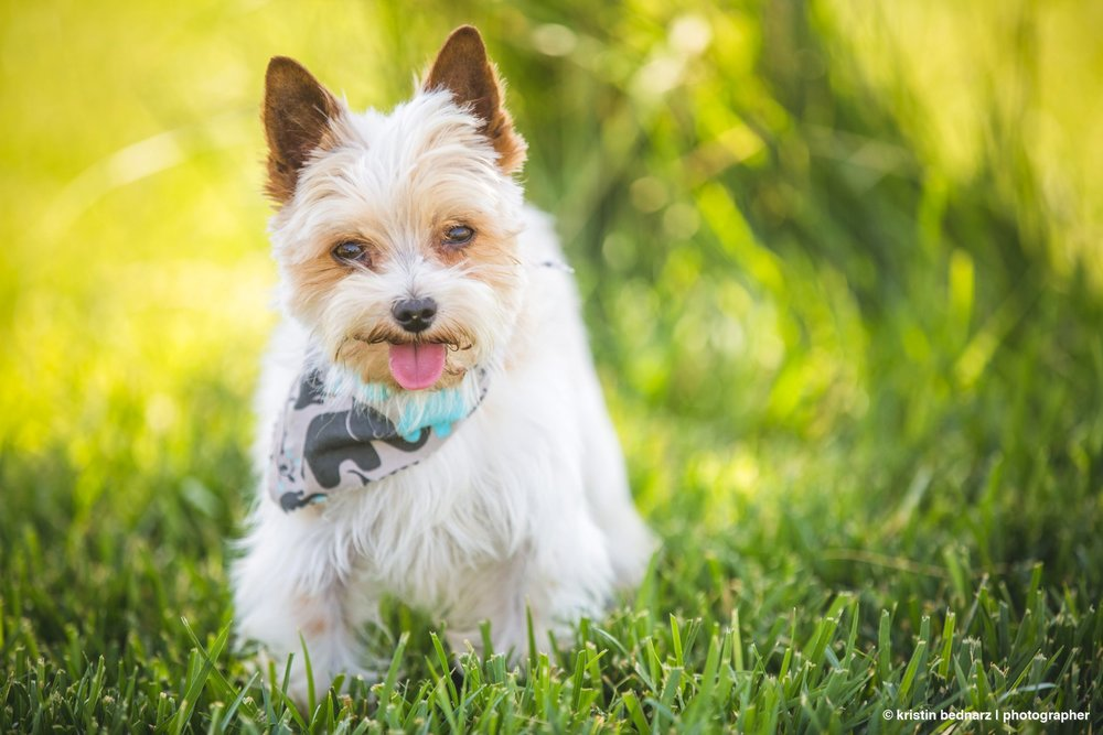 yorkie_puppies_lubbock_photographer_0948.JPG