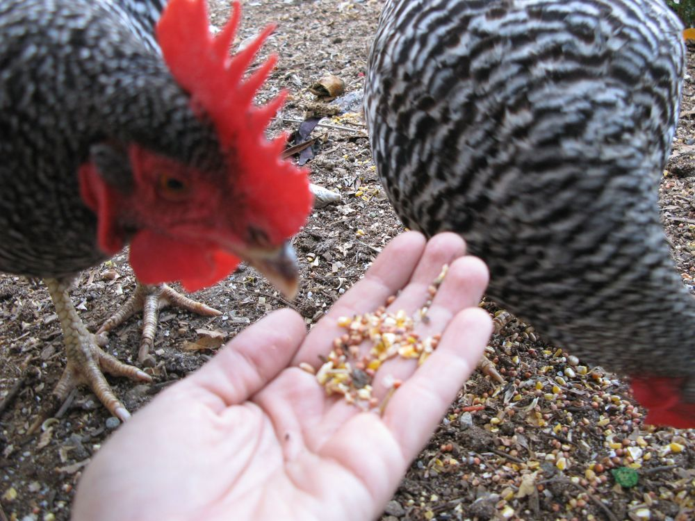 chickens feed out of hand 2.jpg