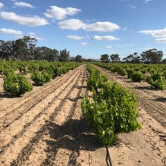 SA sandy soils.jpg