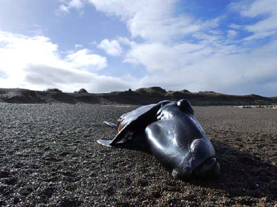 Stranded, deceased southern right whale calf.  (Courtesy of the Southern Right Whale Health Monitoring Program)