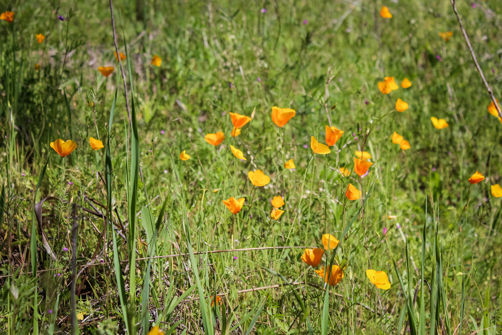 Group of California poppies on the American River Confluence Trail in Auburn, CA. #visitauburnca