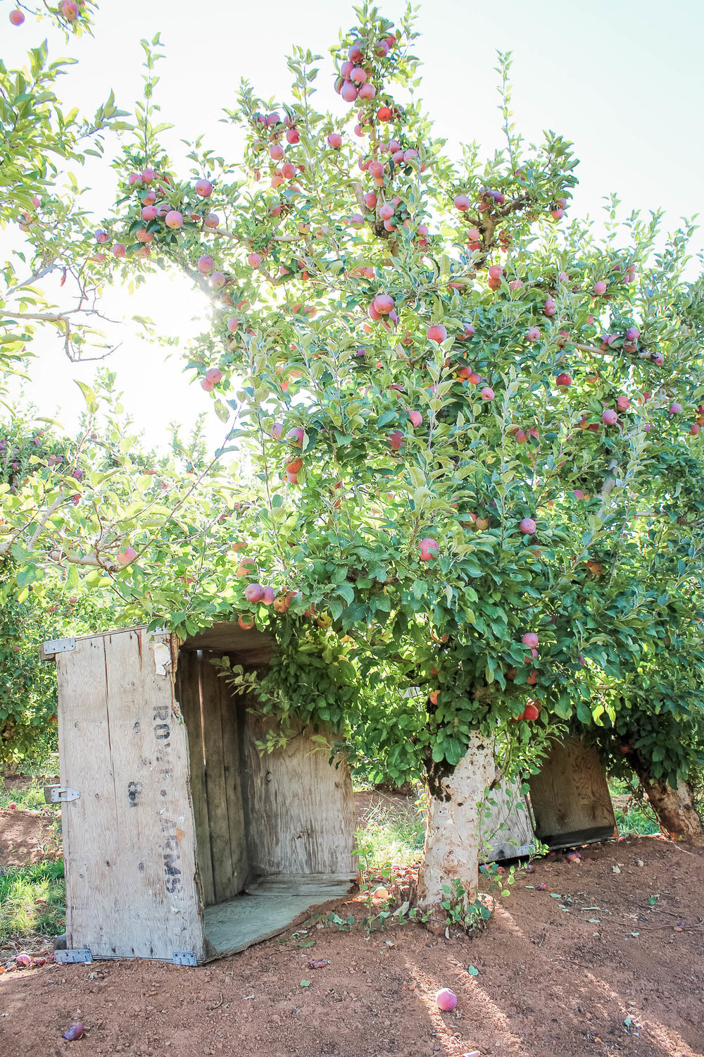 Apples at Kids Inc/Delfino Family Farm in Apple Hill, CA