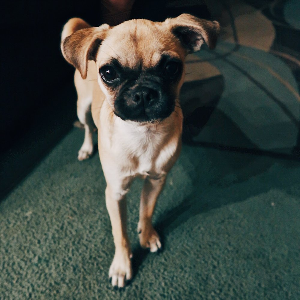 isn't she the cutest little pug/terrier mix you ever saw?