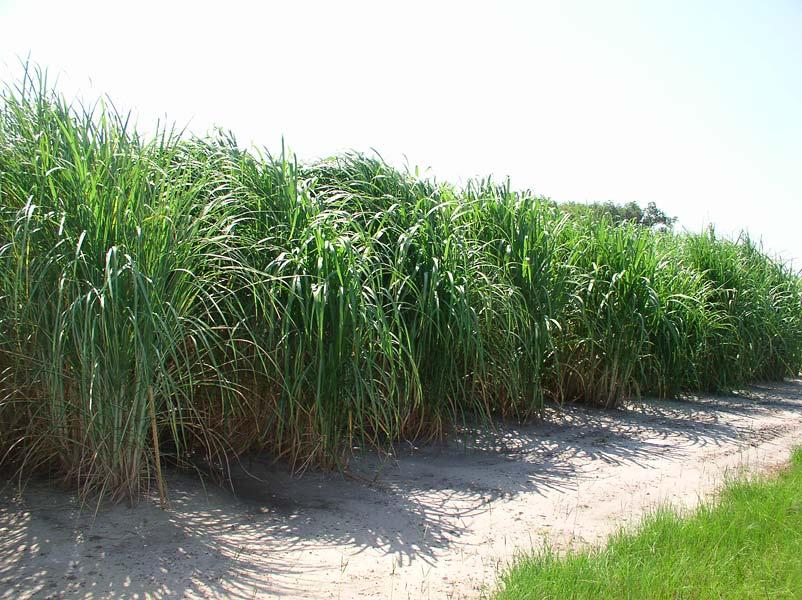 napiergrass.jpg