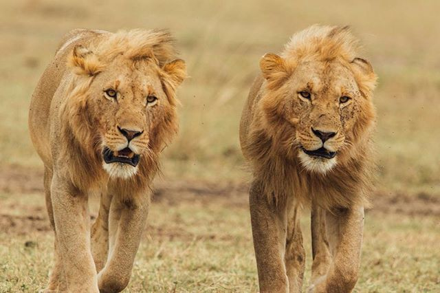 The Maasai Mara did not disappoint with the lions.⠀ .⠀ .⠀ .⠀ .⠀ .⠀ .⠀ .⠀ .⠀ .⠀ .⠀ .⠀ .⠀ #lion #maasaimara #kenya #theking #safari #travel #gotokenya #please #canon #sigma