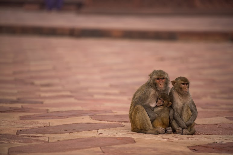 Monkeys | Agra