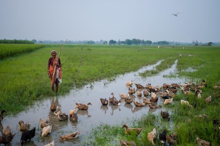 Duck Herder | Tamil Nadu