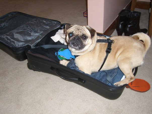 Can Dogs Handle Airline Travel