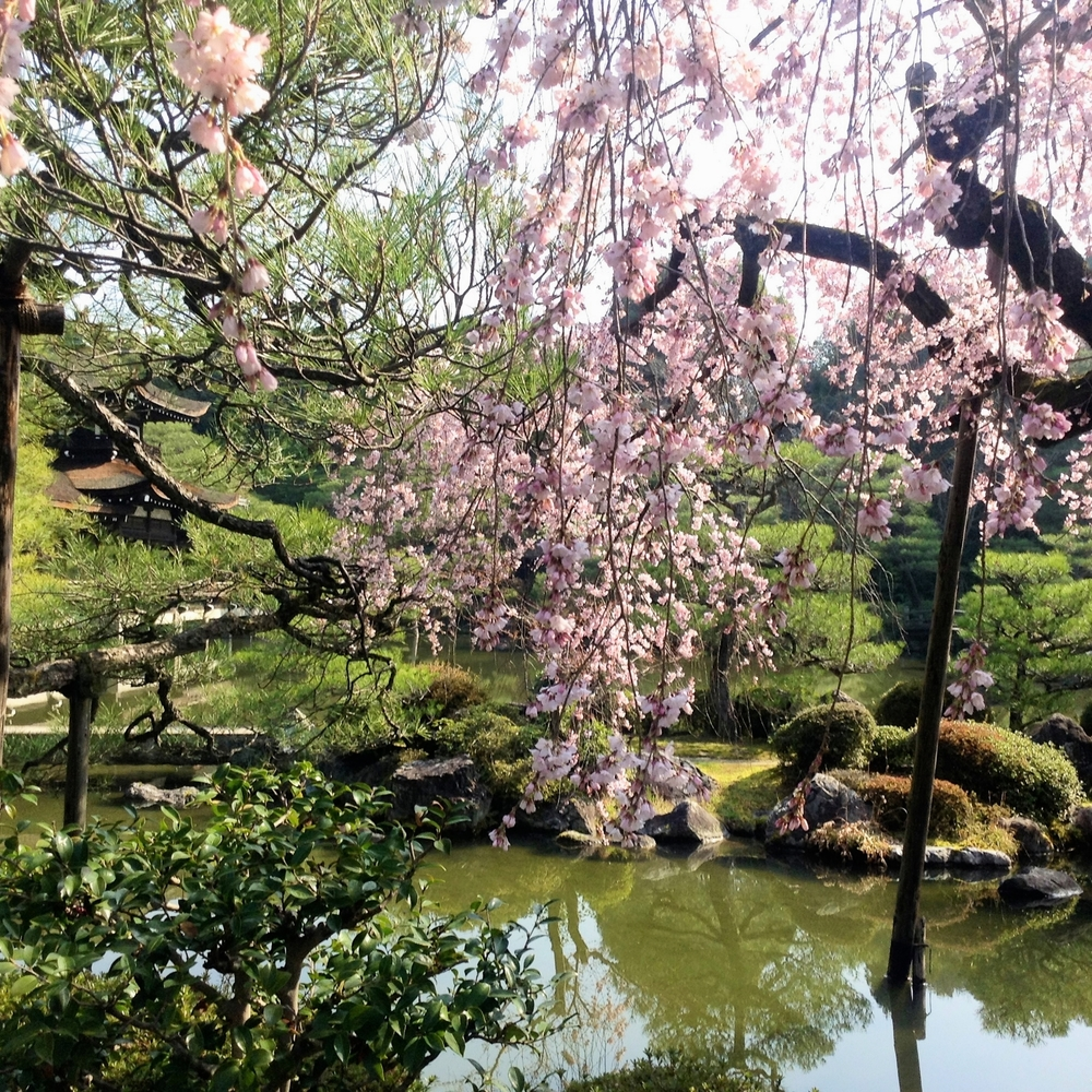 Cherry Blossom Season in Kyoto
