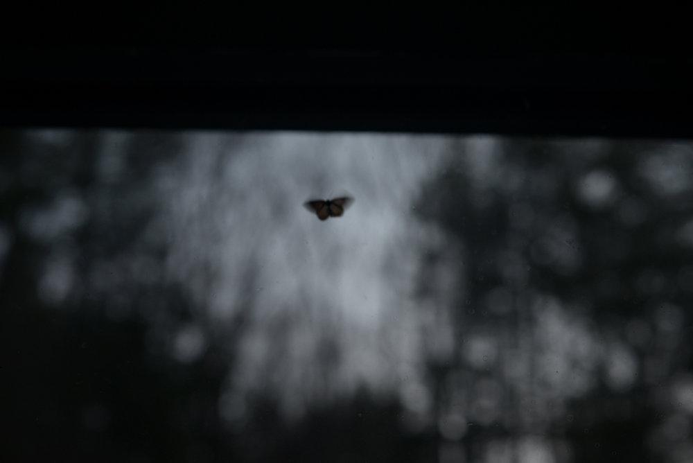 kiplings moth.jpg