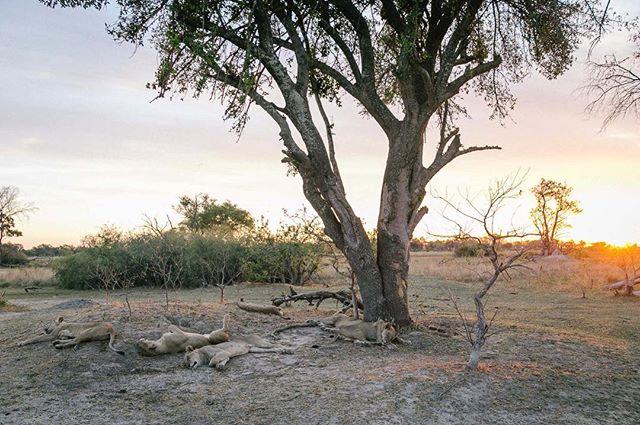 #okavango #okavangodelta #lions #botswana #wanderlust