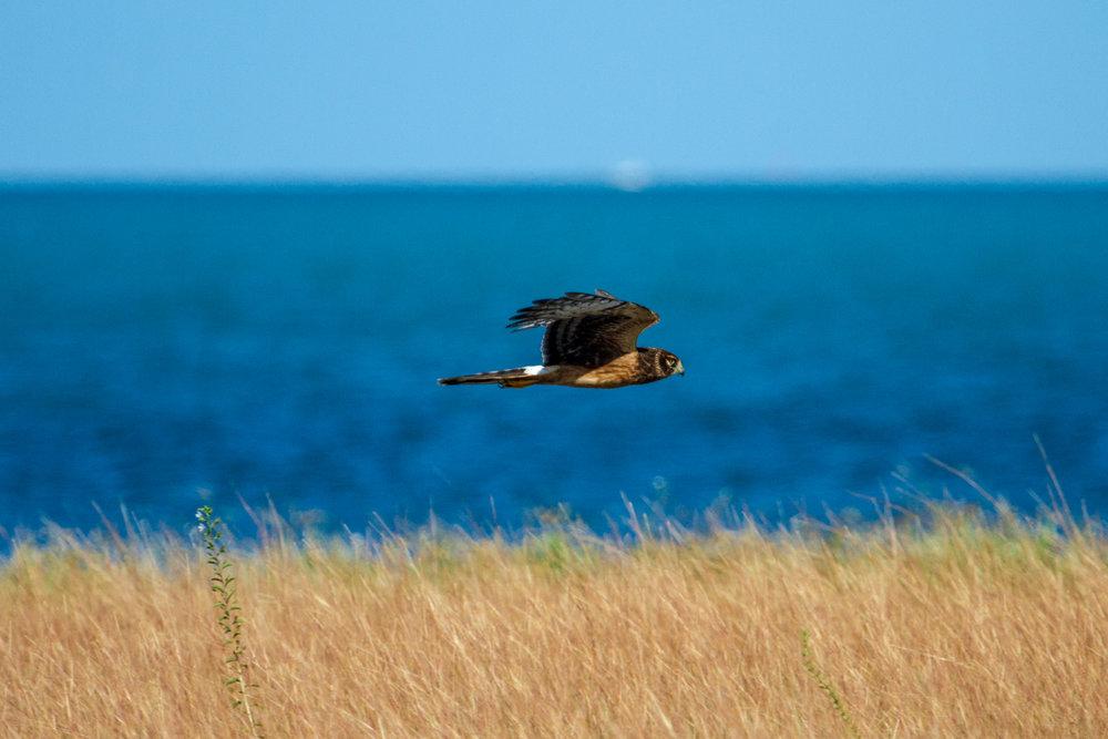 Harrier (1 of 1).jpg