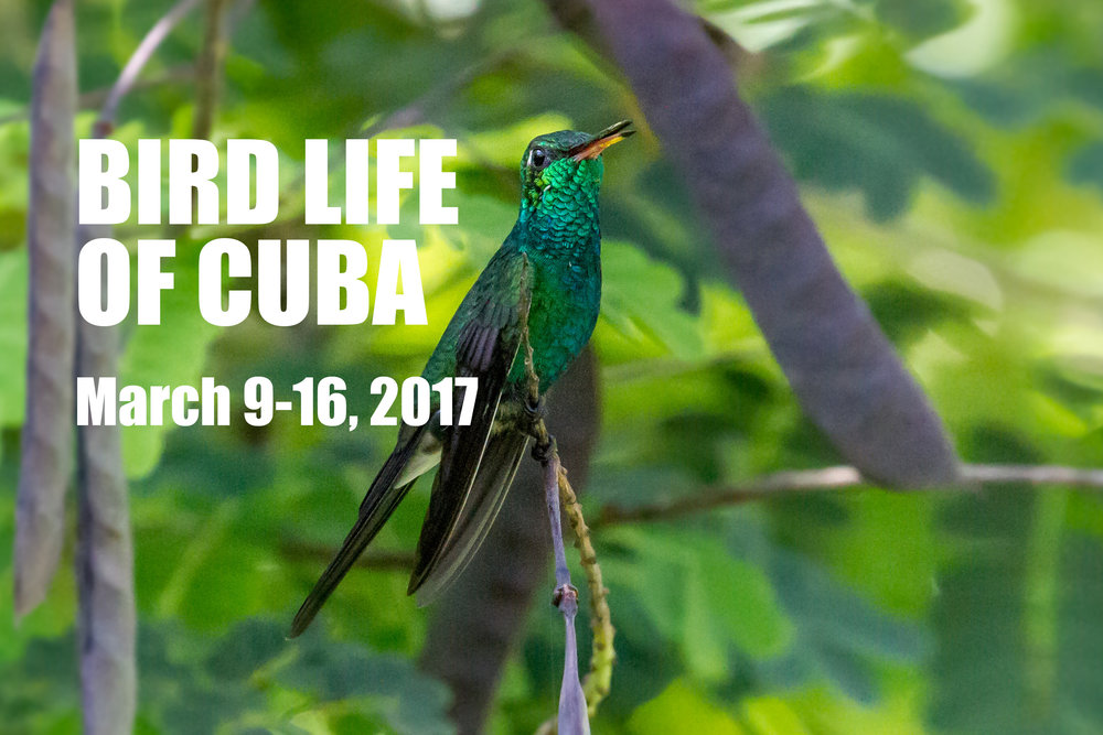 A Cuban Emerald, one 25 endemic species of birds found in Cuba. Photo by Mark Hedden.