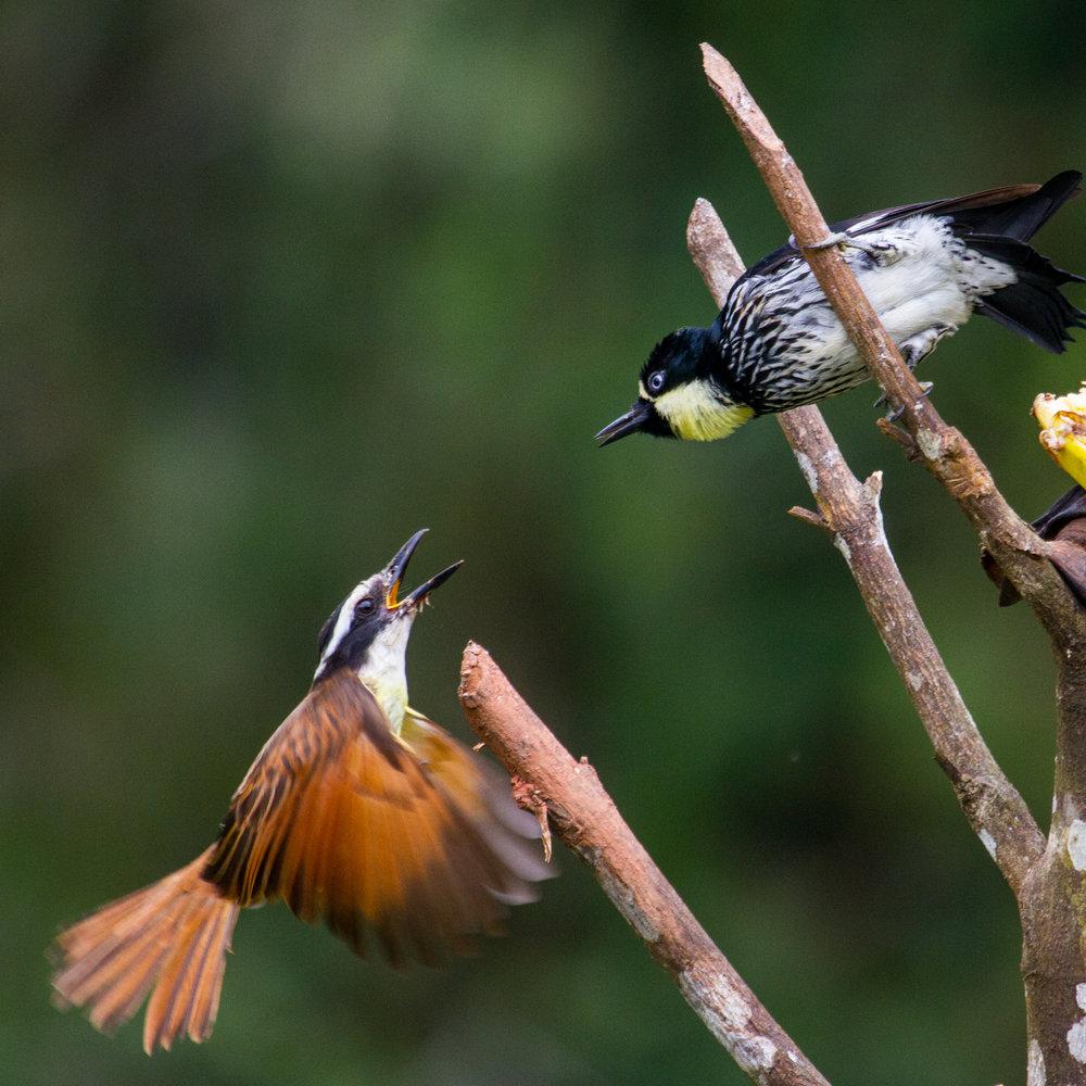 Colombia Woodpecker V Flycatcher (1 of 1).jpg