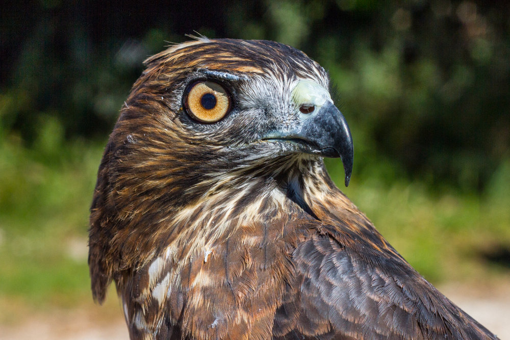 Augie the Broad-winged Hawk