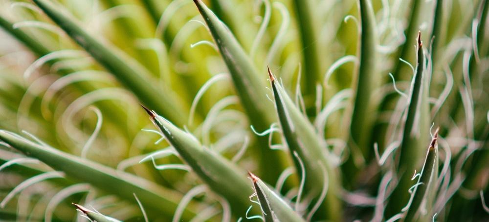Mezcal er et agave-brennevin som regnes som tequilaens misforståtte halvbror. Mange tror at mezcal inneholder det psykedeliske virkestoffet mescalin, en myte og en misforståelse som stammer fra navnlikheten.
