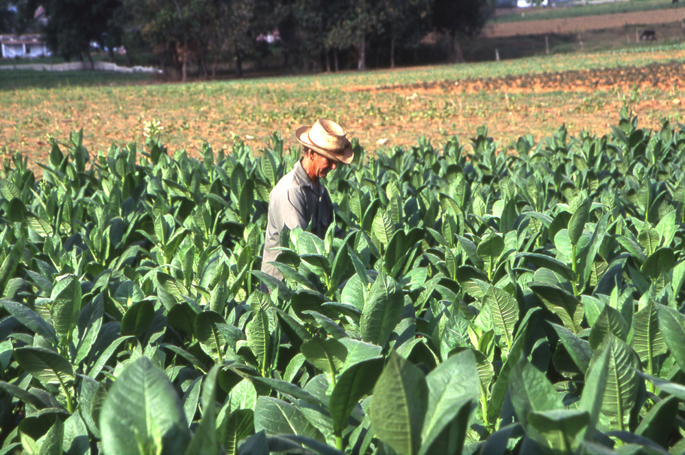 Cubansk tobakksplantasje i Vinales