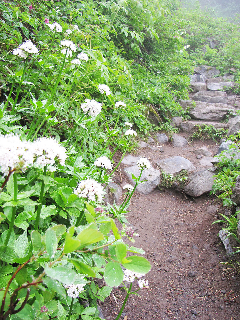 Wildflowers line the pathway up to Comet Falls, especially in the rockier sections.