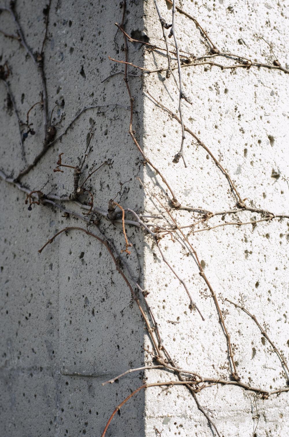 wall--vine-2_27368915269_o.jpg