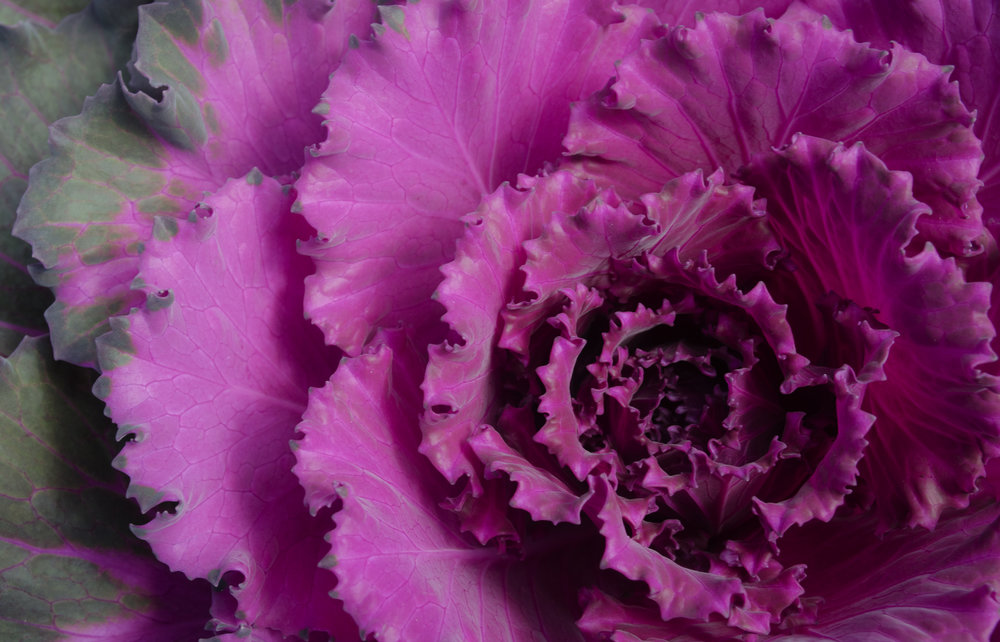 pink-cabbage_16055005599_o.jpg
