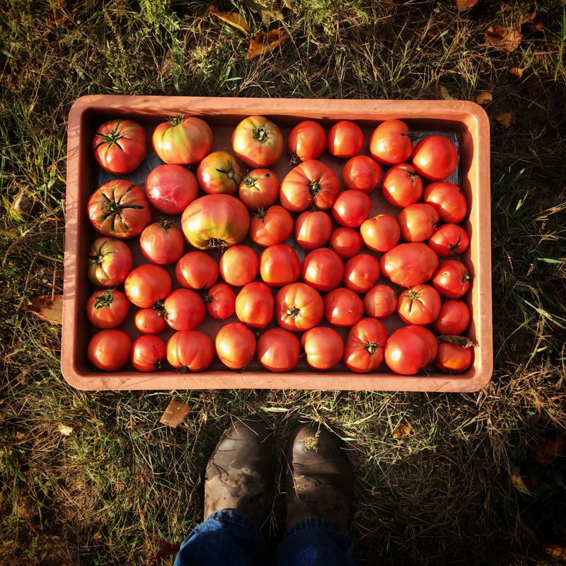 TomatoesResized.jpg
